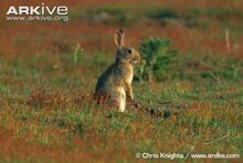 Rabbit-standing-on-hind-legs.jpg