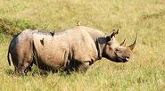 Rhinoceros, Black