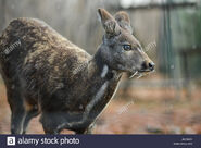 Siberian Musk Deer