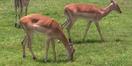 Tampa Safari Impalas