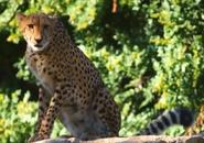 WWLZ&AQ Cheetah