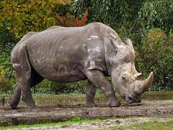 White Rhinoceros.jpg