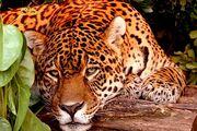 Yaguarete 4.450x300.jpg