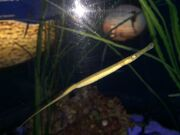 Alligator Pipefish.jpg