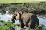 Elephant Eating in the Water