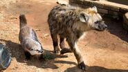 Hyena and Otter