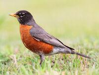 Robin, American.jpg