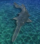 Sawfish ZT