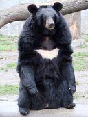 Ursus thibetanus 3 (Wroclaw zoo).jpg