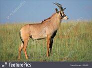 Antelope, Roan