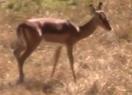 Brevard Zoo Impala