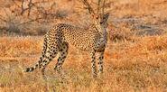 Cheetah (V2)