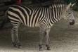 Cincinnati Zoo Zebra V2