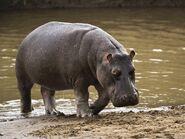 Common Hippopotamus (V2)