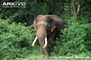 Elephant, Indian.jpg