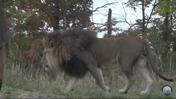 Fort Wayne Children's Zoo Lion (V2)