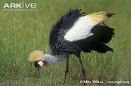 Grey-crowned-crane2