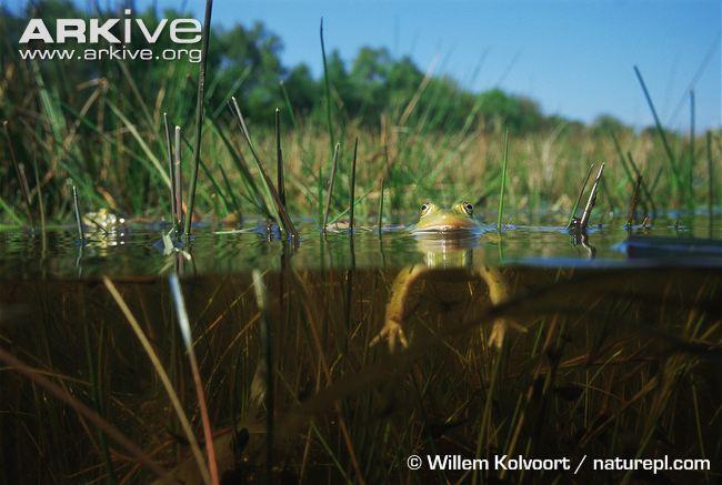 Pool Frog