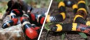 Male and female coral snakes