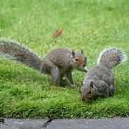 Male and female grey squirrels
