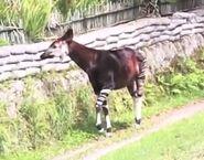 Okapi in miami zoo