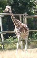Peoria Zoo Giraffe