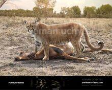 Puma pardoides.jpg