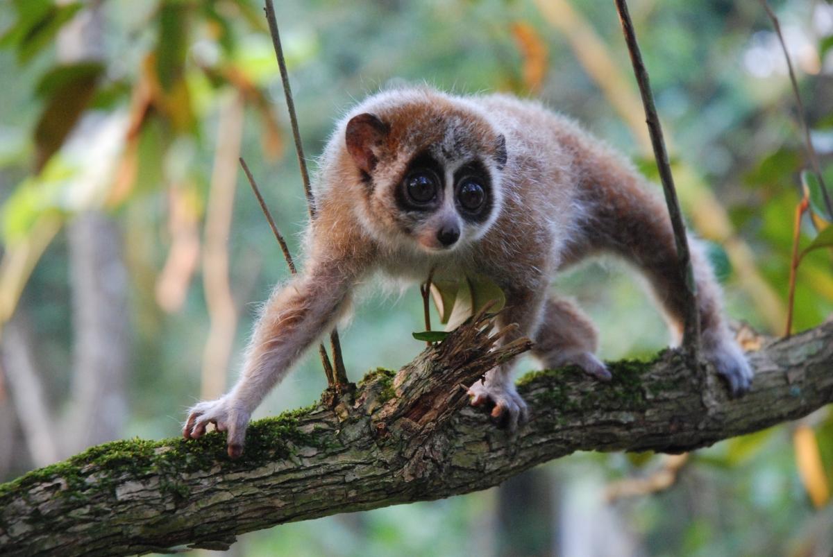 Pygmy Slow Loris