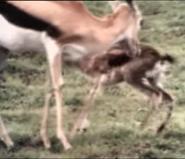 Really Wild Animals Gazelles