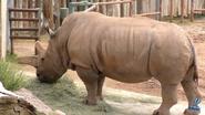 Reid Park Zoo Rhino2