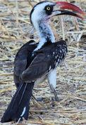 Tanzanian Red-billed Hornbill.jpg