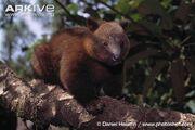Tree Kangaroo, Doria's.jpg