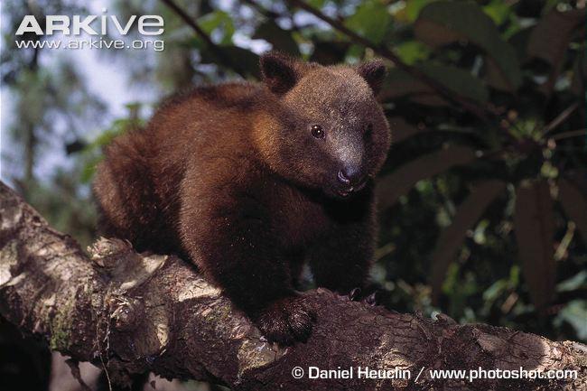 Doria's Tree Kangaroo