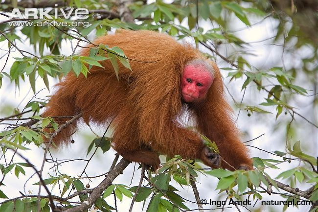 Bald-Headed Uakari