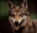 Wolf-disneythinkfast