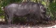 Zoo Miami Warthog