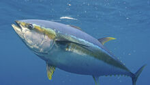 01 yellowfin-tuna-Pat-Ford-1145x645.jpg