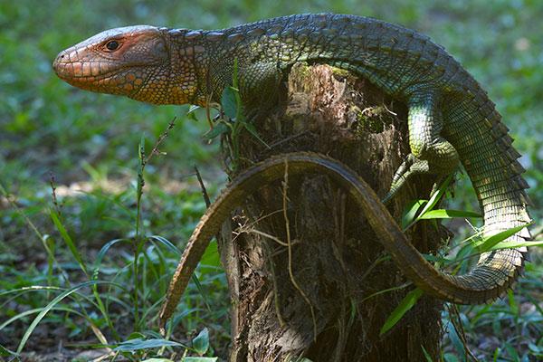 Northern Caiman Lizard