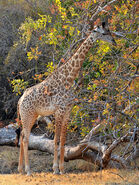 800px-Giraffa camelopardalis thornicrofti