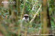 Bale-Mountains-vervet-amongst-bamboo