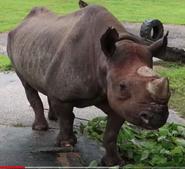 Bush Gardens Black Rhinoceros
