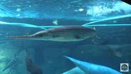 Cincinnati Zoo Alligator Gar