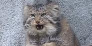 Columbus Zoo Cat