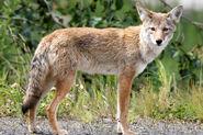 Coyote (V2)