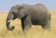 Elephant, African Bush (Animals)