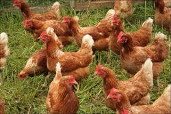 Flock of Rhode Island Reds.jpg