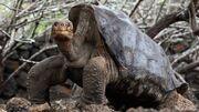 Galápagos Tortoise.jpg