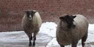 Pittsburgh Zoo Sheep