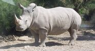 Rhinoceros, White