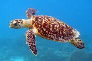 Turtle, Hawksbill Sea